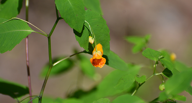 Jewelweed is a jewel of a weed