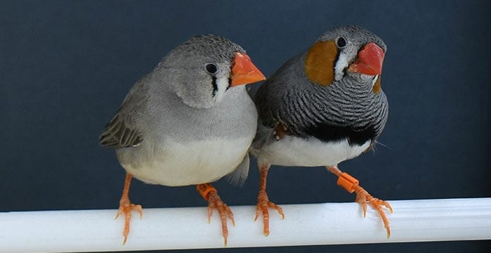 How zebra finches choose materials for their nests