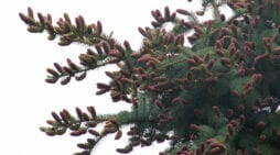 The elegant and essential cones of coniferous trees